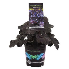 Heuchera Obsidian 12cm Pot