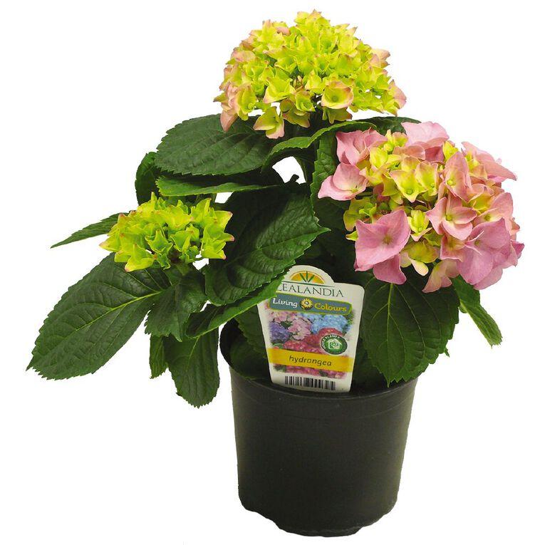 Hydrangea 12cm Pot, , hi-res