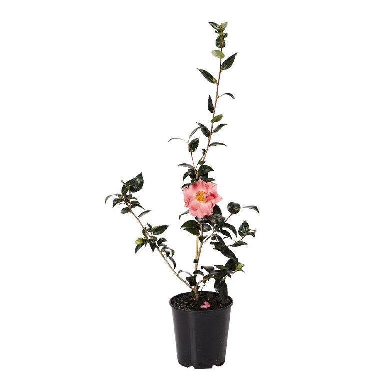 Camellia PB8, , hi-res image number null