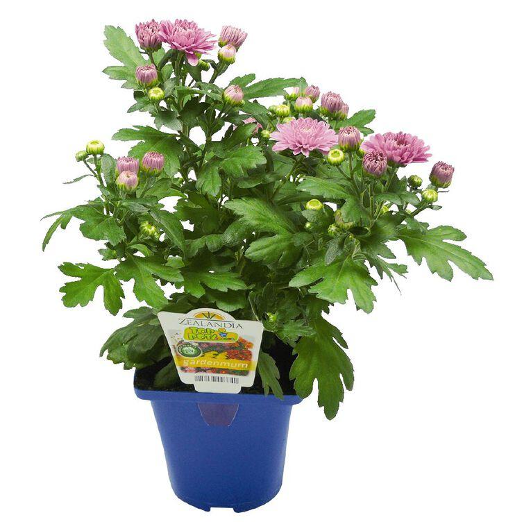 Chrysanthemum Gardenmums 10cm Pot, , hi-res