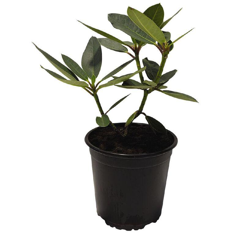 Rhododendron 2.5L Pot, , hi-res