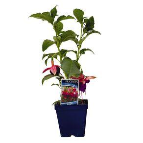 Fuchsia 10cm Pot