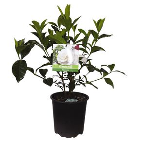 Gardenia 2.5L Pot
