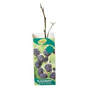 Fruit Sation Berry Fruit Blackberry Black Satin Bareroot