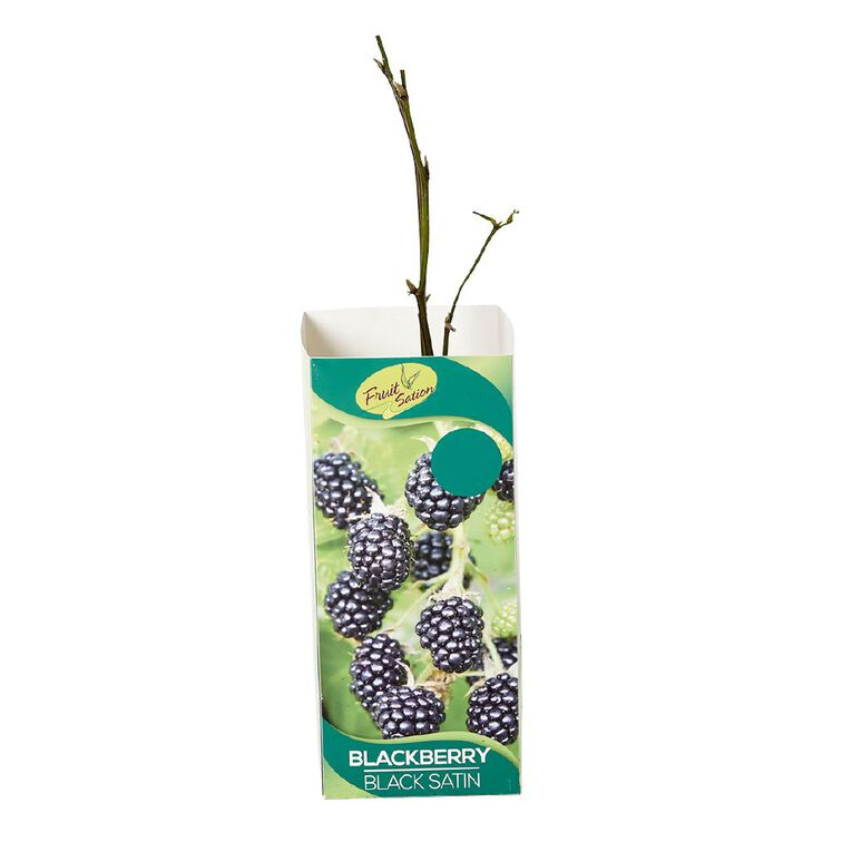 Fruit Sation Berry Fruit Blackberry Black Satin Bareroot, , hi-res