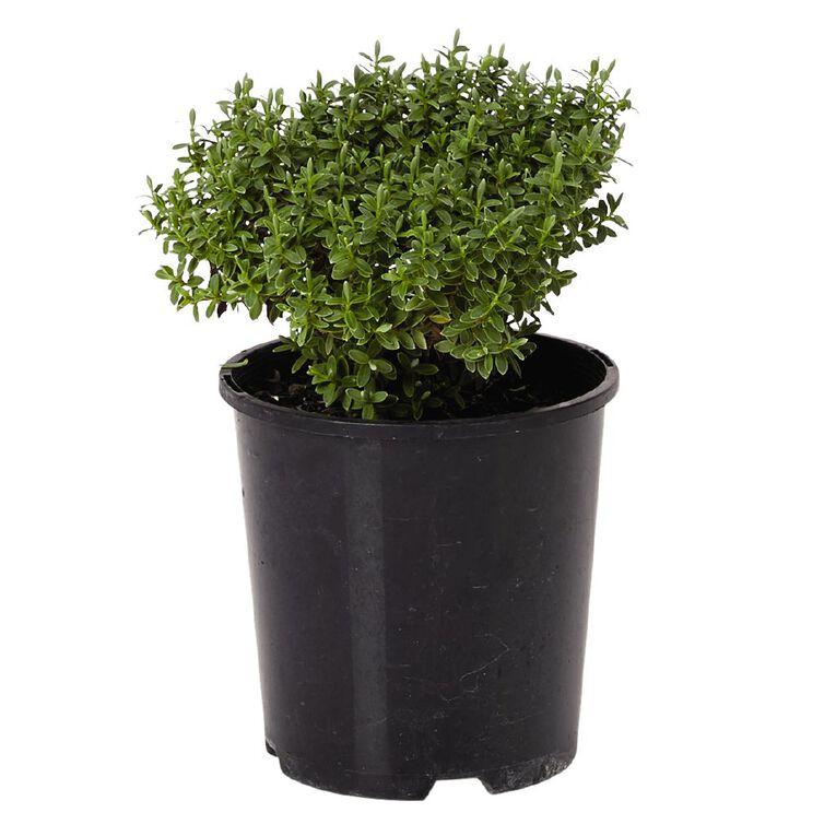Hebe Sutherlandii 1.9L Pot, , hi-res