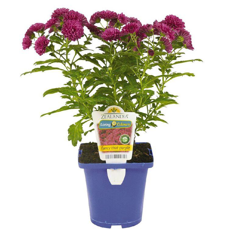 Chrysanthemum Fancy That Purple 11cm Pot, , hi-res