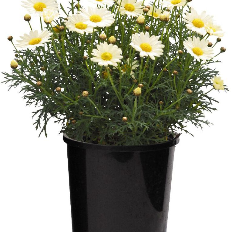 Federation Daisy 12cm Pot, , hi-res