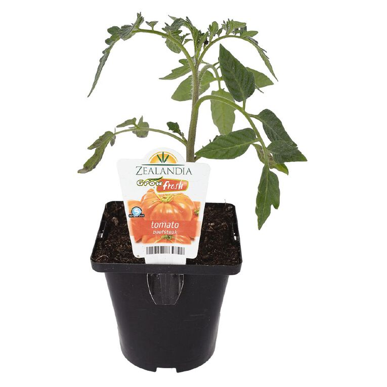 Growfresh Single Tomato Beefsteak 10cm Pot, , hi-res