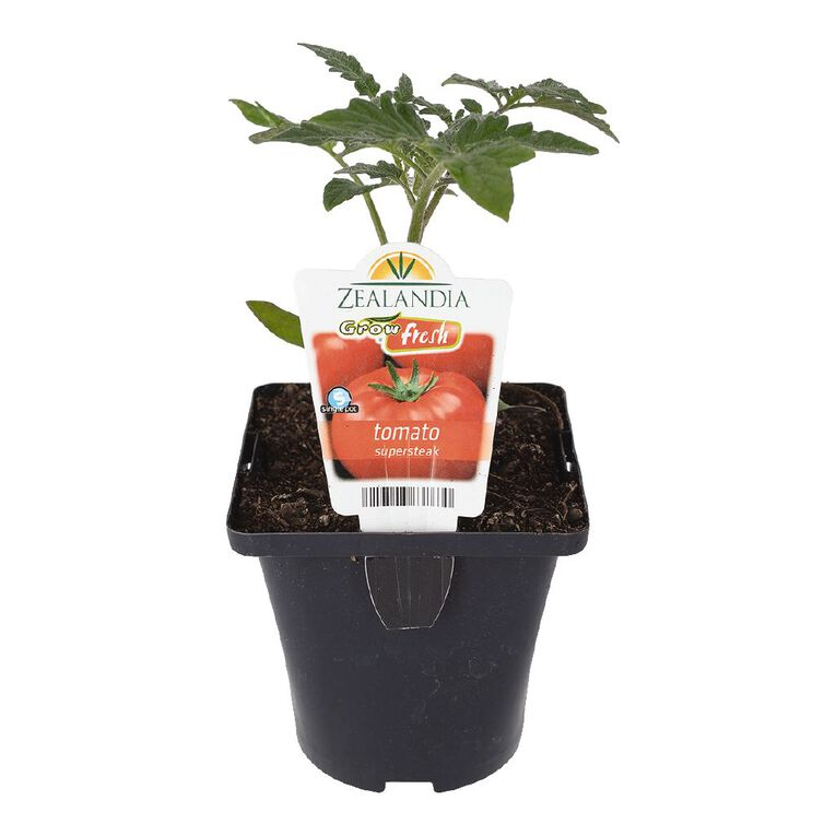 Growfresh Single Tomato Supersteak 10cm Pot, , hi-res