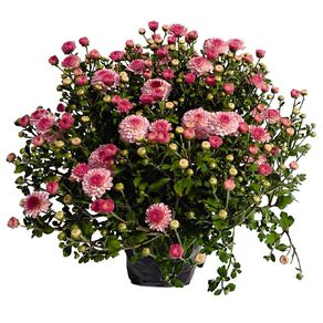 Chrysanthemum Gardenmums 13cm Pot