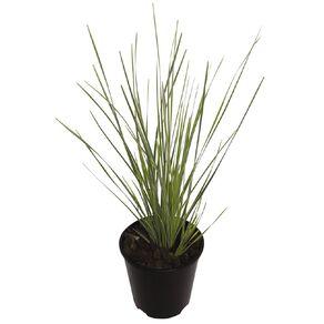 Lomandra White Sands 1.9L Pot