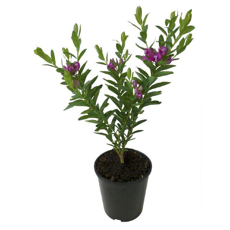 Polygala Grandiflora 1.9L Pot, , hi-res