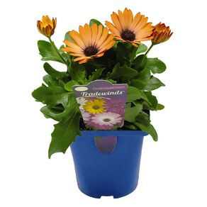 Osteospermum Tradewinds Assorted 10cm Pot