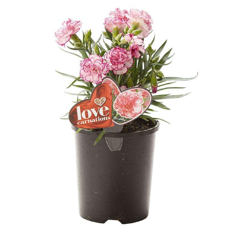 Carnation Chantilly 1.5L Pot, , hi-res
