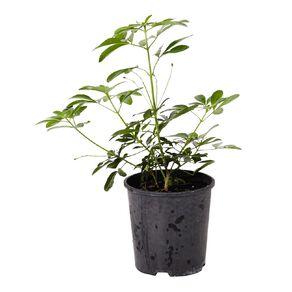 Choisya Mexican Orange Blossom 2L Pot