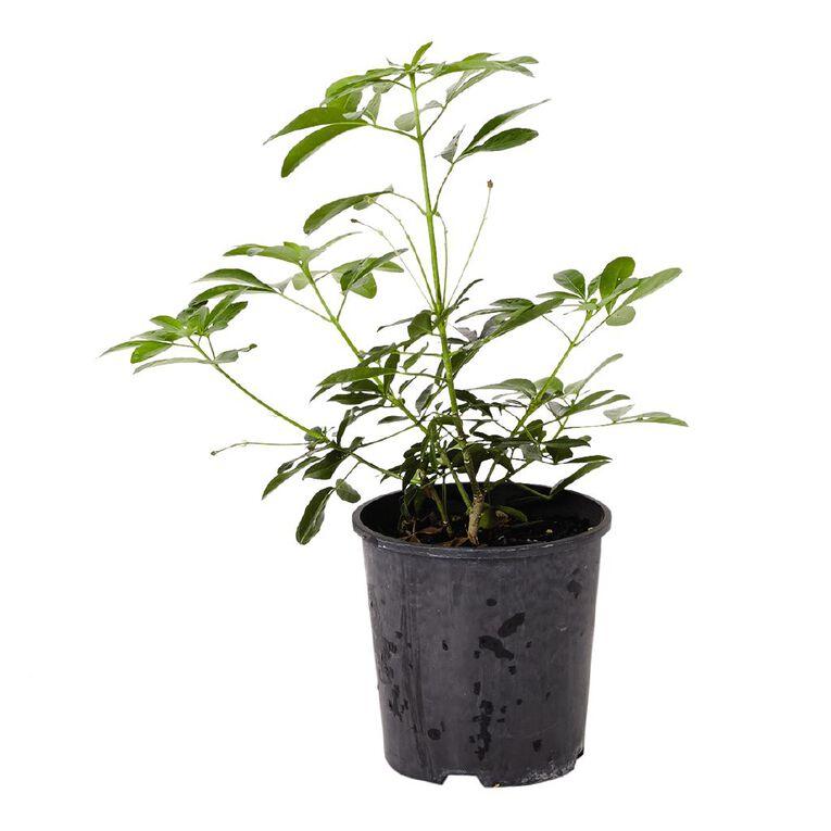 Choisya Mexican Orange Blossom 2L Pot, , hi-res