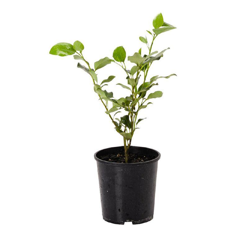 Griselinia Broadway Mint 1.9L Pot, , hi-res
