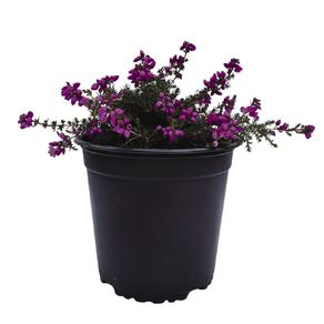 Ericas 1.5L Pot