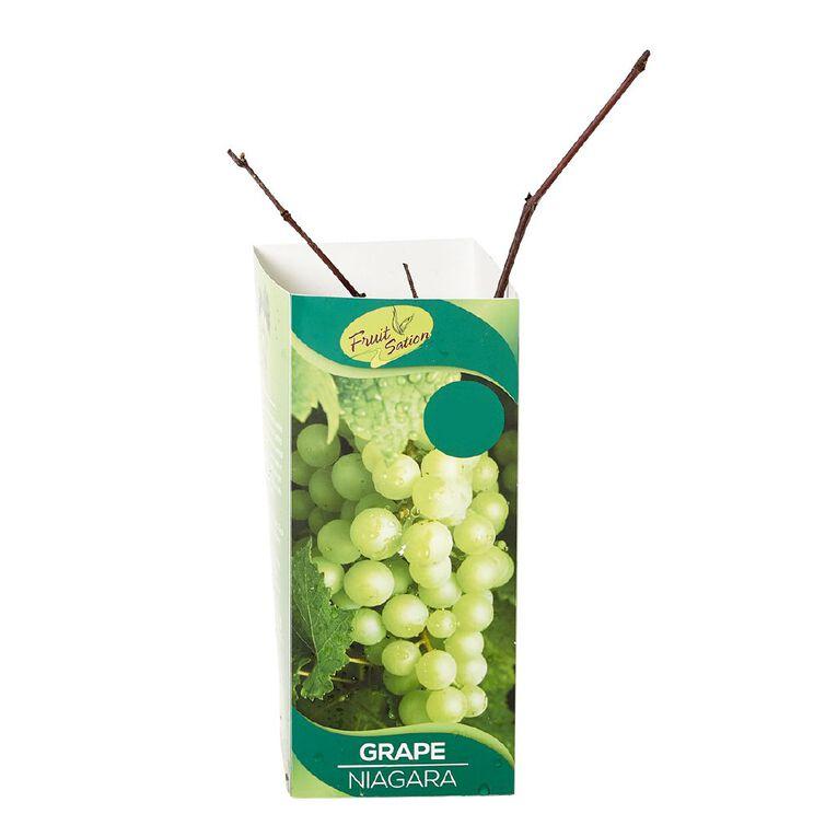 Fruit Sation Berry Fruit Grape Niagara Bareroot, , hi-res
