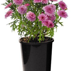 Federation Daisy 12cm Pot