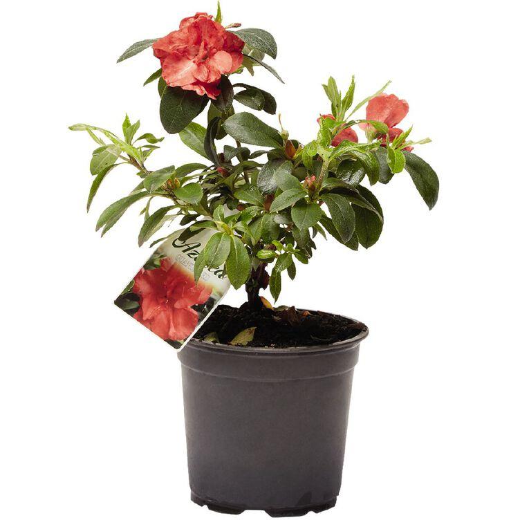 Outdoor Azalea 12.5cm Pot, , hi-res