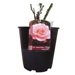 Summer Potted Rose