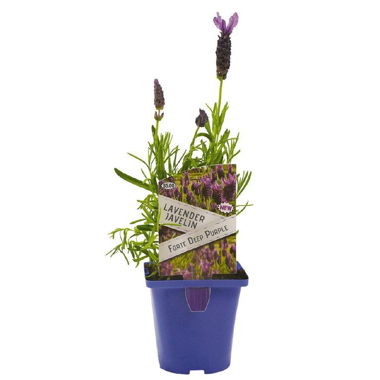 Lavender Javelin 10cm Pot, , hi-res