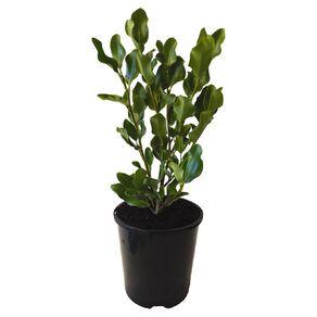 Grisilinea Broadway Mint 1.9L Pot