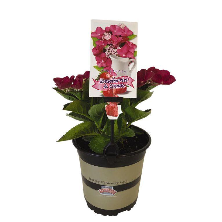 Hydrangea Strawberry and Cream 2.5L, , hi-res