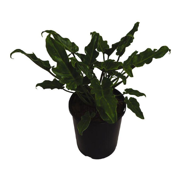 Philodendron Xanadu 2.4L, , hi-res