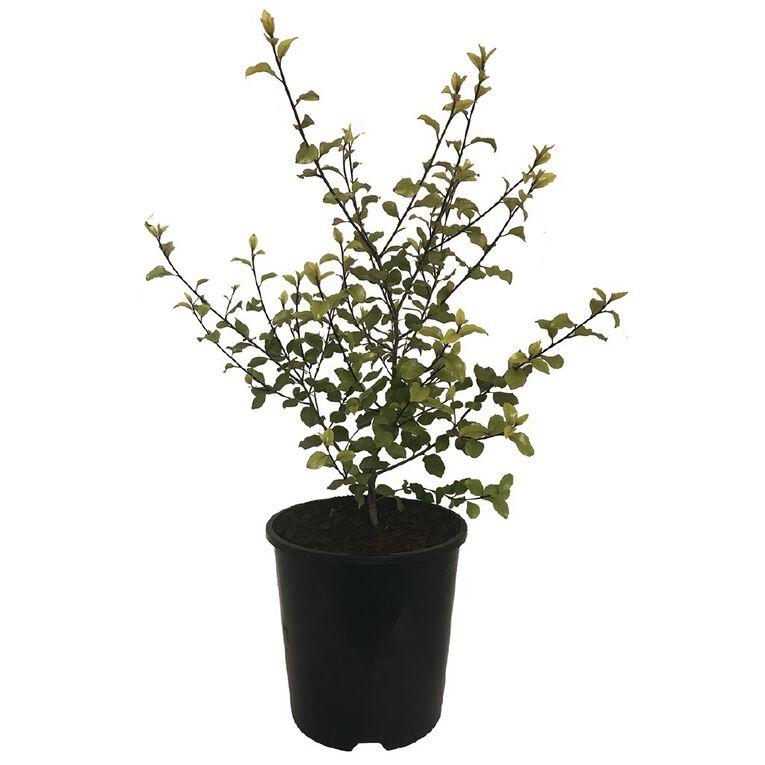 Pittosporum Silver Sheen 1.9L Pot, , hi-res