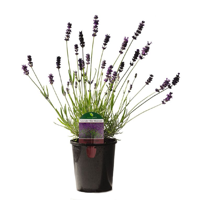English Blue Mountain Lavender 12cm Pot, , hi-res image number null