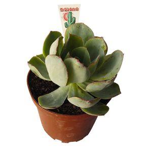 Succulents Assorted 12cm Pot SI