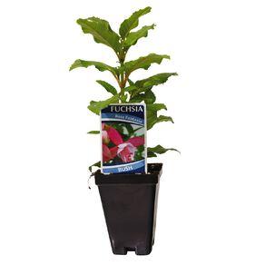 Fuchsia 7.5cm Pot