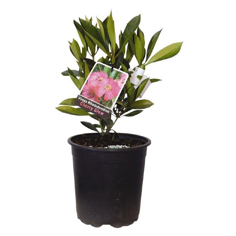 Vireya Rhododendron 2.5L Pot, , hi-res