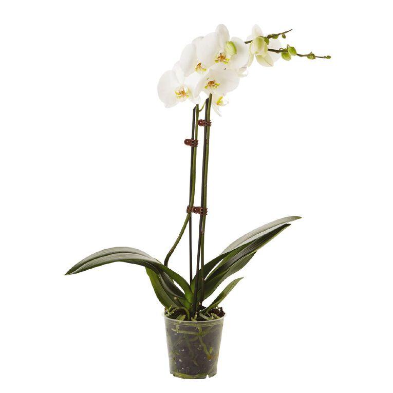 Phalaenopsis Orchid Promo Pot, , hi-res