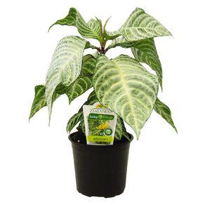 Indoor Foliage Mix Pot 12cm Pot