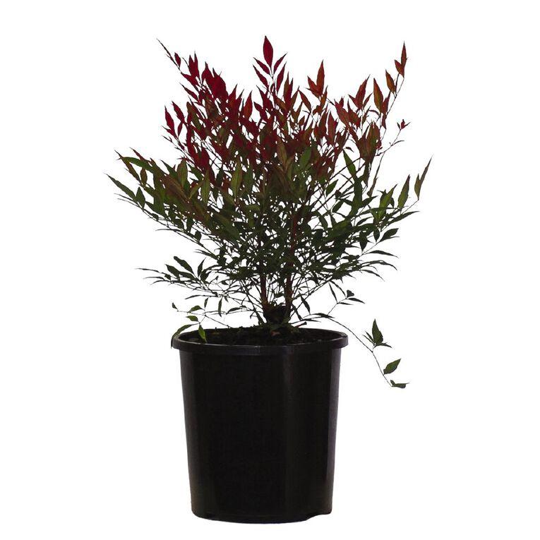 Nandina Assorted 2.5L Pot, , hi-res