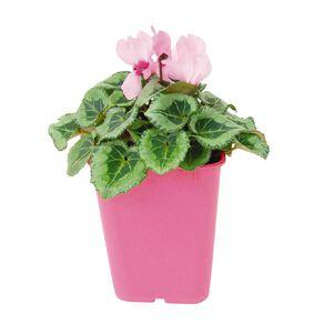 Cyclamen 10.5cm Pink Pot