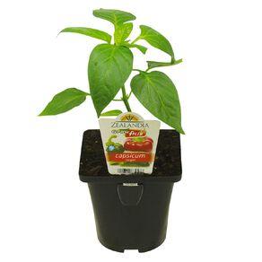 Growfresh Single Capsicum Target 10cm Pot