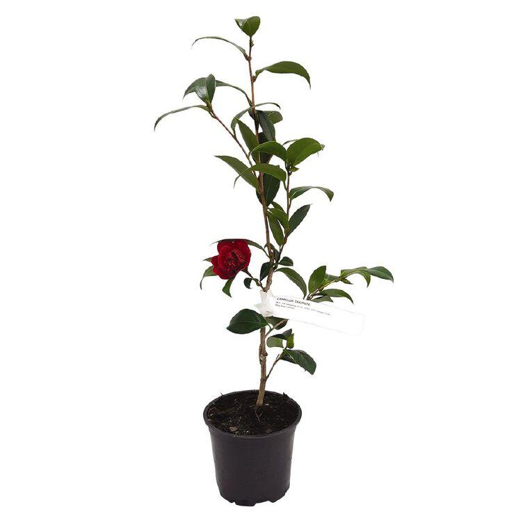 Camellia 15cm Pot, , hi-res