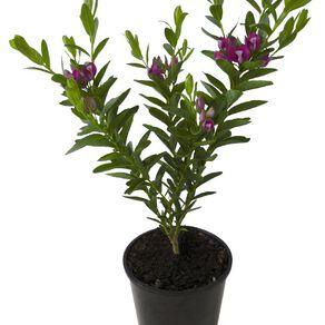 Polygala Grandiflora 1.9L Pot