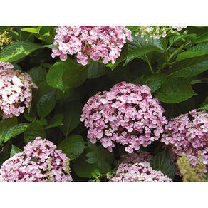Hydrangea Ayesha 1.9L Pot