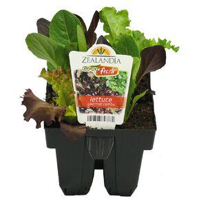 Growfresh Lettuce Gourmet Combo