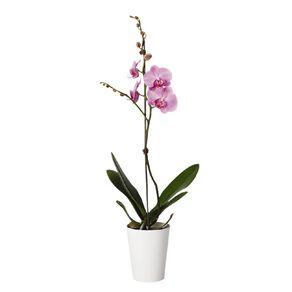 Living Phalaenopsis Orchid Gift 12cm