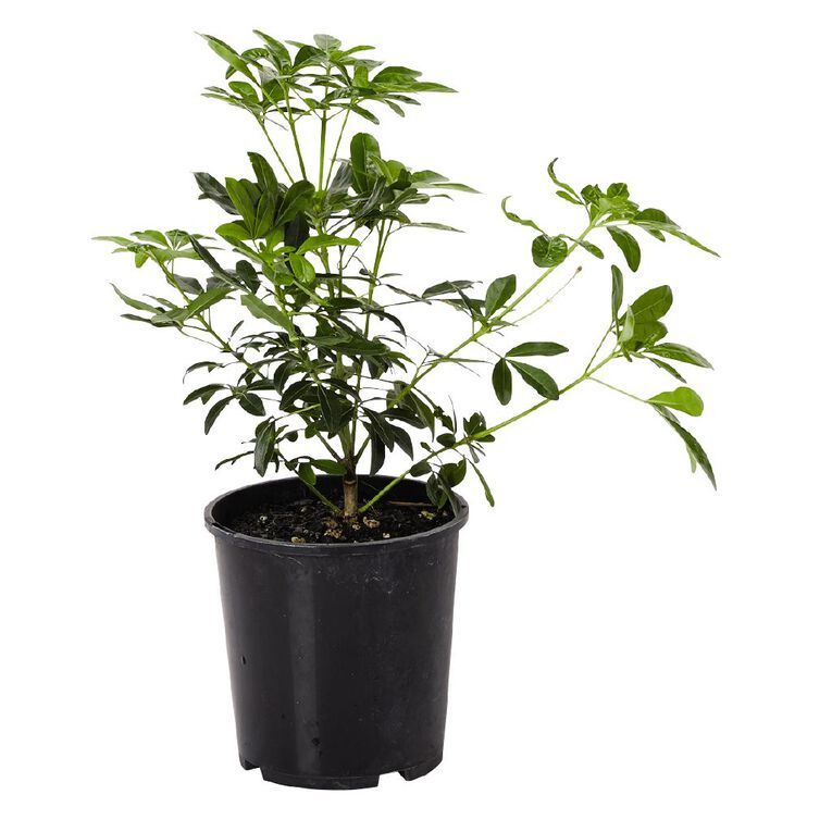 Choisya Ternata 1.9L Pot, , hi-res