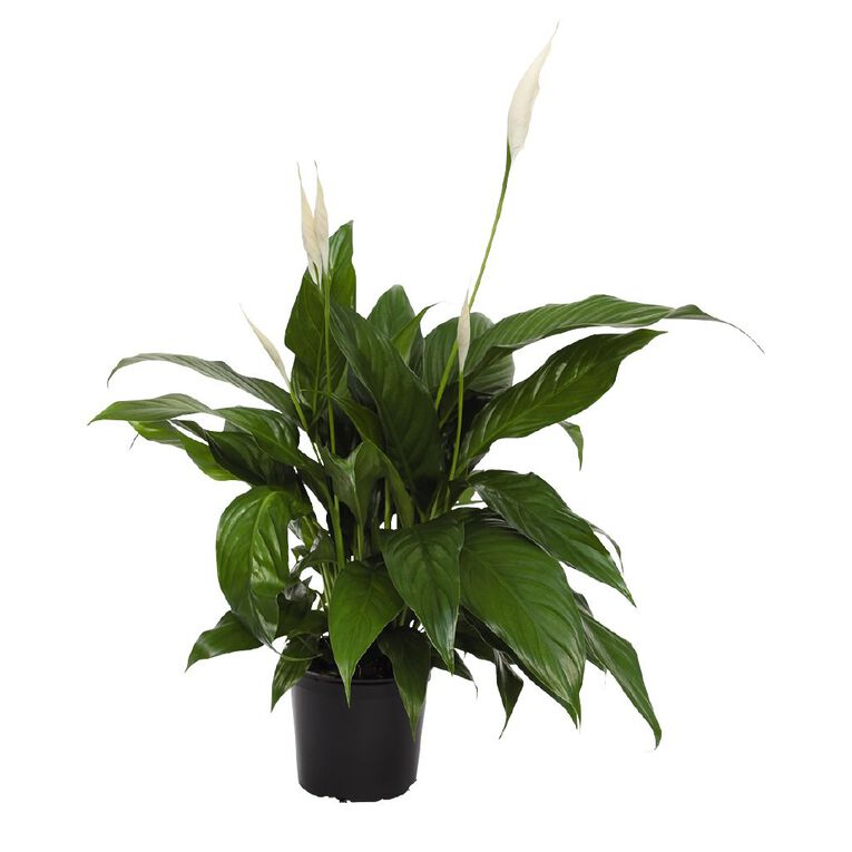 Spathiphyllum EWN 15cm Pot, , hi-res