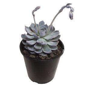 Echeveria Morning Beauty 1.9L Pot