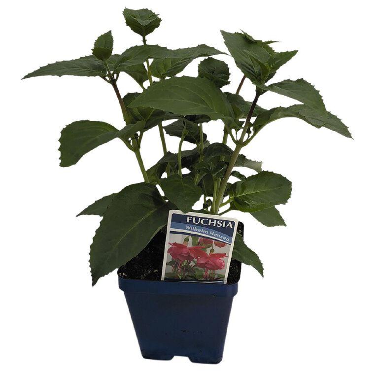 Fuchsia 10cm Pot, , hi-res